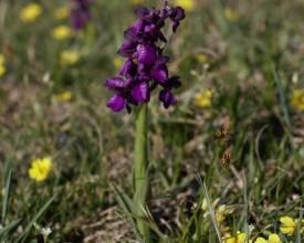 Orchideák a legelőn