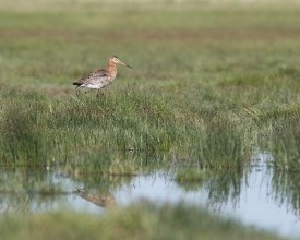Black-tailed godwit in Kis-Kondás project site